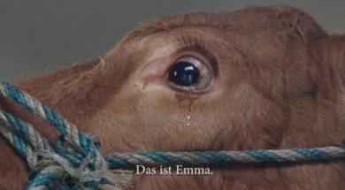 Krowa tak panicznie bała się drogi na ubój, aż zaczęła płakać. Zobacz gdzie ją zamiast tego zabrano.