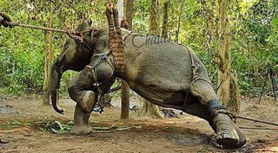 tortura-słoni-0
