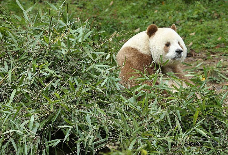 abandoned-brown-panda-qizai-1