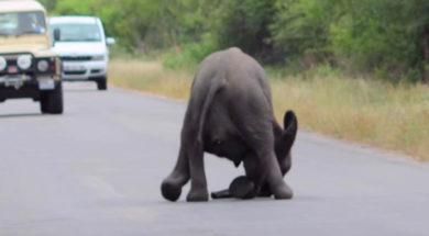 baby_elephant_collapses_on_road_featured