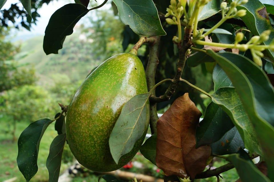 avocado-2192116_960_720
