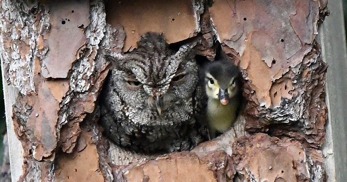 Sowa wychowuje małe kaczątko przez pomyłkę, uznając dziwne jajo za własne.