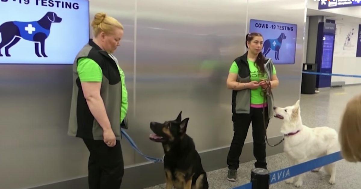 Psy wykrywają koronawirusa. Jakby tego było mało, są niemal w 100% dokładne!