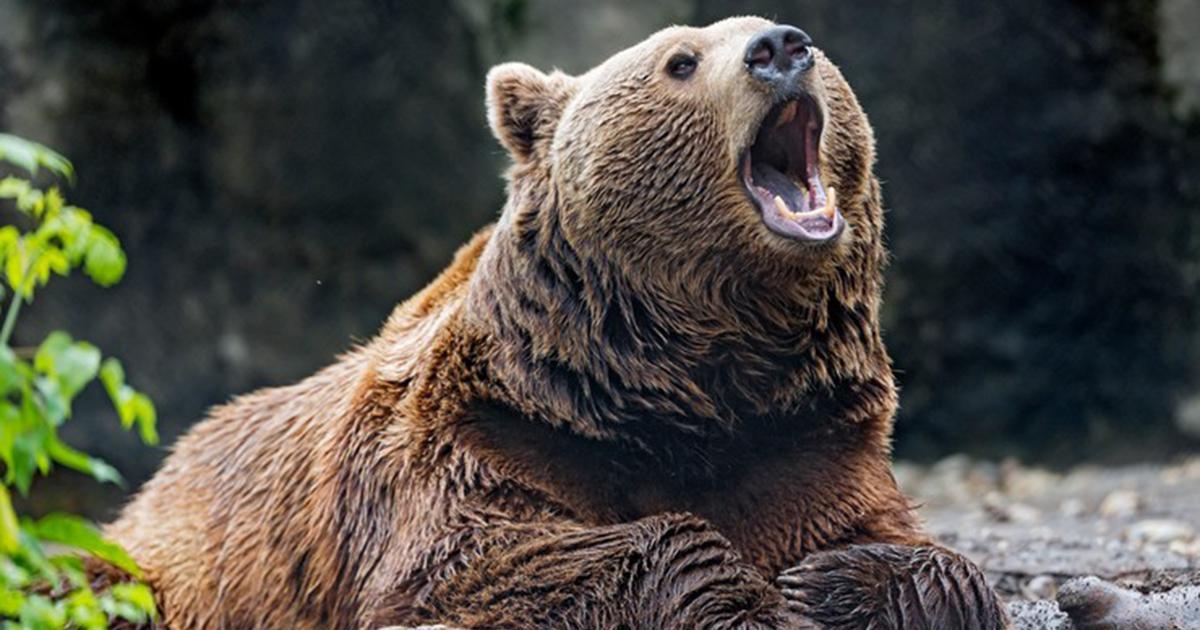 Szok. Mężczyzna przez tydzień był męczony przez… niedźwiedzia!