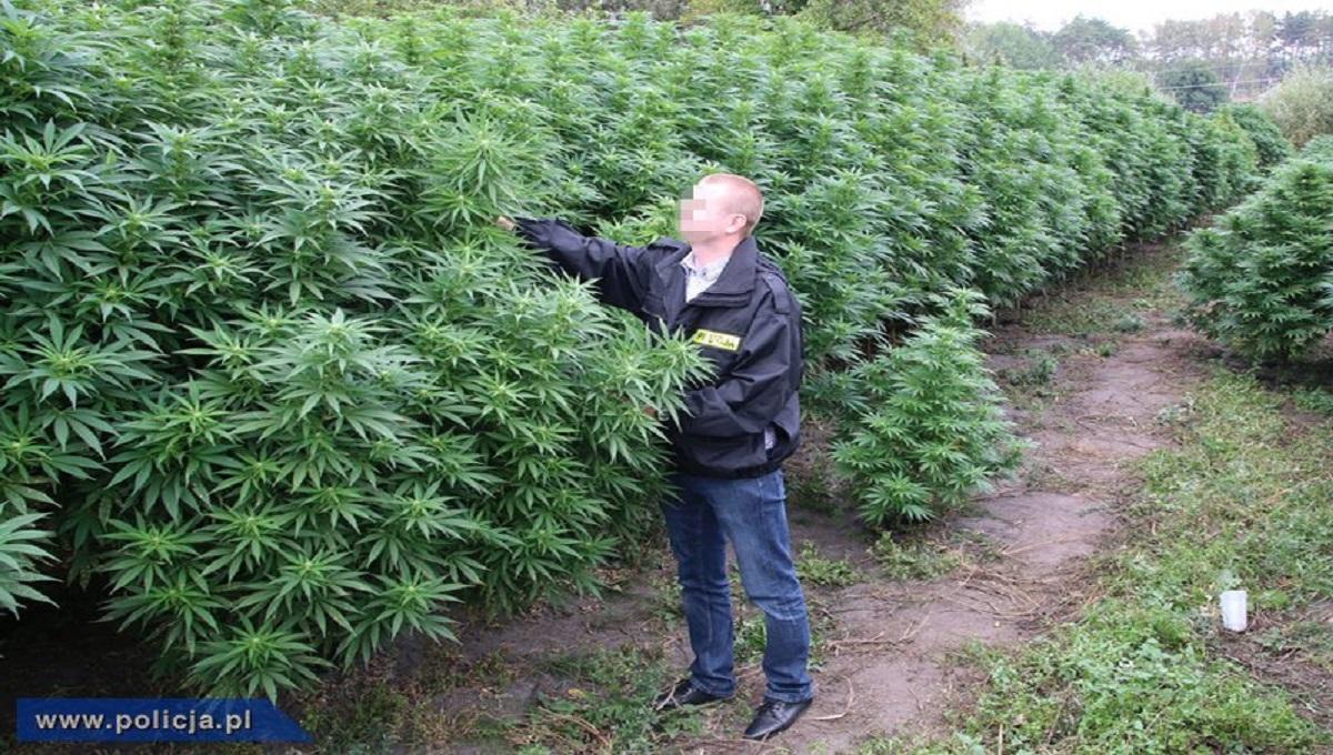 Wśród pomidorów uprawiana była marihuana. Ciekawa uprawa w Lesznie.
